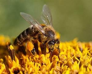 Wie Machen Bienen Honig : la france bannit les pesticides tueurs d abeilles ~ Whattoseeinmadrid.com Haus und Dekorationen