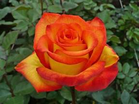 Red Yellow and Orange Roses