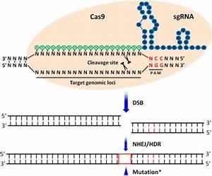 Schematic Illustration Of The Crispr  Cas9 System Struct