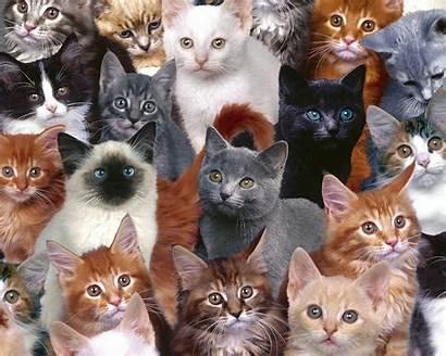Cats Cat Desktop Background Kitten Animal Breeds