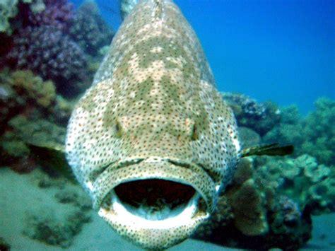 grouper giant ocean otlibrary range