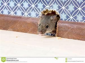 Maus Im Haus : haus maus mus musculus kommt in den raum durch ein loch ~ A.2002-acura-tl-radio.info Haus und Dekorationen