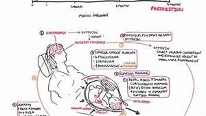 Parturition - Pregnancy  Hormones  Giving Birth