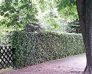 Immergrüne Kletterpflanze Für Zaun : efeu efeupflanzen hedera helix immerg ner heimischer ~ Michelbontemps.com Haus und Dekorationen