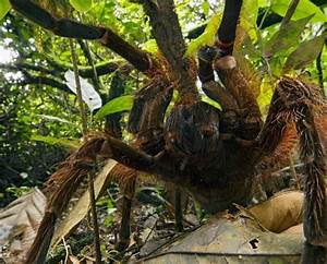 Giant bird-eating spider found in South American tropics ...