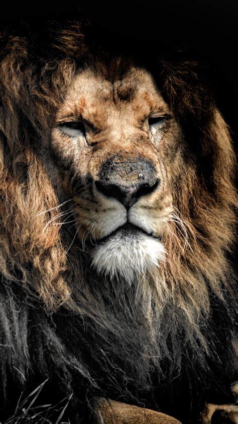 lion  uhd wallpaper