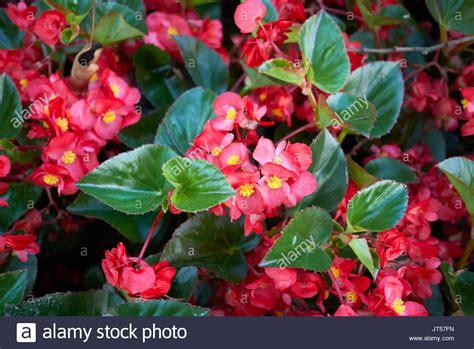 when do begonias bloom begonia flower plant bloom stock photos begonia flower plant bloom stock images alamy