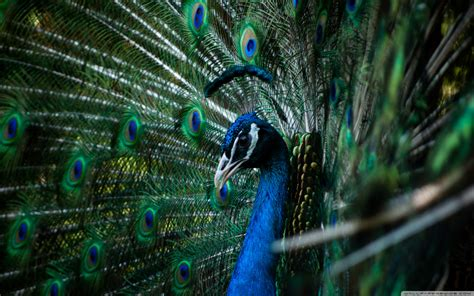 Animated Peacock Wallpapers - peacock wallpaper