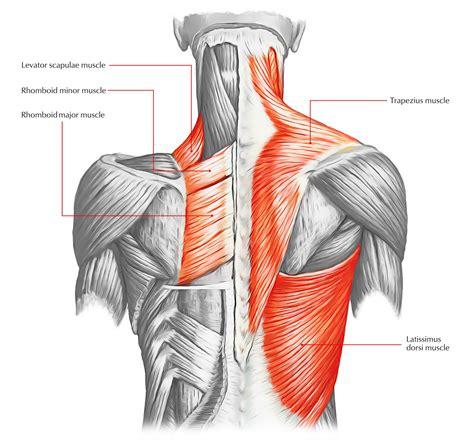 muscle diagrams diagram link