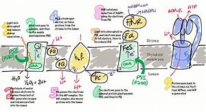 Key Concepts  Photosynthetic Electron Transport Chain  U2013 Dr