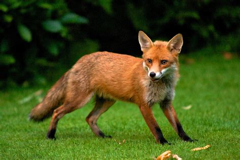 is it to own a fox in ohio surprised fox flamov flickr