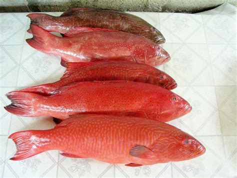 grouper fish asia 21food contact