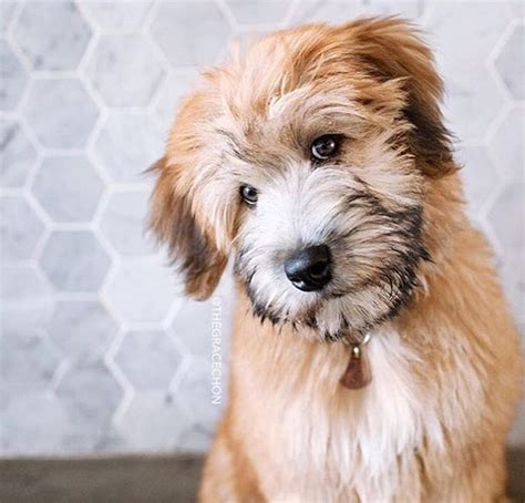 17 best images about soft coated wheaten terrier on