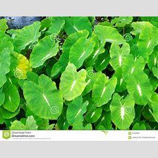 Aquatic Plant Foliage Background Stock Image  Image Of