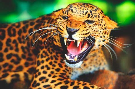 ¿qué Comen Los Jaguares?