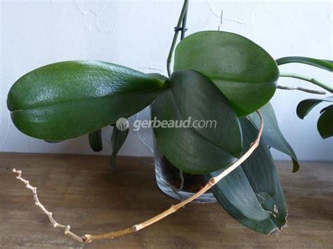 orchidee phalaenopsis faut il couper la tige apres