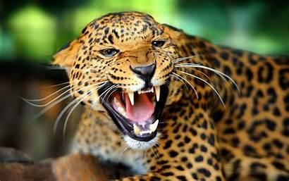 Wild Animal Leopard Wallpapers