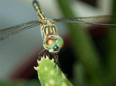 รูปภาพ : บิน, มังกร, สัตว์ไม่มีกระดูกสันหลัง, การถ่ายภาพ ...