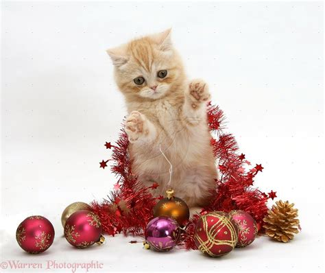 kitty christmas cats big  small tame  wild