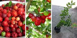 How To Grow The Barbados Cherry Tree  The Best Guide And Tips