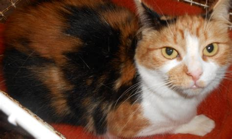 rescue maine coon x for adoption rotherham south