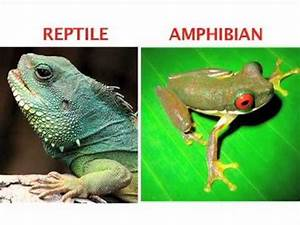 What's the difference between an amphibian and a reptile ...