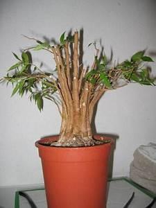 Ficus Bonsai Schneiden : ficus benjamina birkenfeige garten forum community ~ Indierocktalk.com Haus und Dekorationen