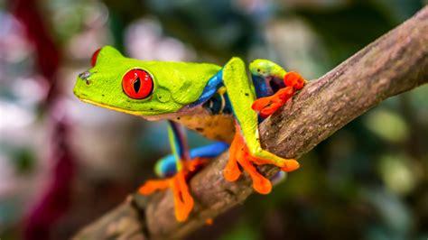 beautiful tree frog  wallpaper