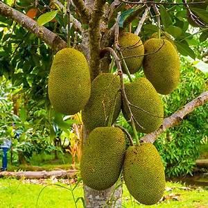 Jackfruit Trees for Sale – FastGrowingTrees.com