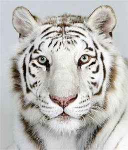 Animals Zoo Park: Royal Bengal Tiger Pictures, Royal ...