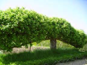 file espalier fruit tree at standen west sussex may 2006 jpg wikimedia commons