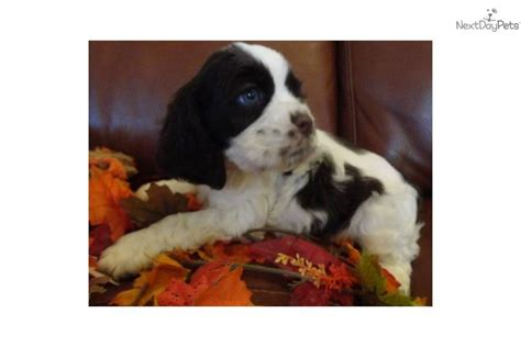 Breeders of quality parti color cocker with excellent temperament and complete health testing. AKC MALE CHOCOLATE/WHITE PARTI COCKER SPANIEL | Cocker Spaniel puppy for sale near Colorado ...