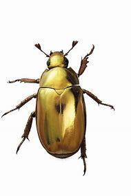 Gold Scarab Beetle