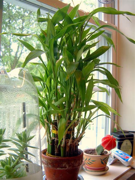 Lucky Bamboo Pflege by Lucky Bamboo Care Growing Dracaena Sanderiana