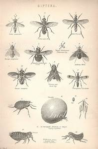 Vintage Insect Print  Insects Flying Flies Engraving Print