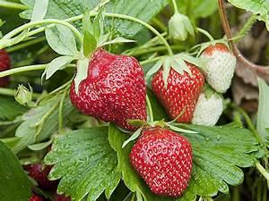 Plant De Fraise : cultiver les fraises sur un mur vertical ~ Premium-room.com Idées de Décoration