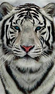 beautiful animal pictures in 2020 | White tiger, Tiger ...