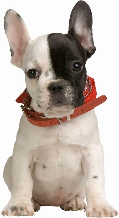 Puppy Clipart Bulldog Transparent Animals Clip Puppies