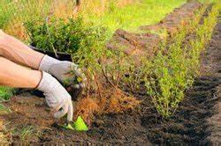 Ligusterhecke Pflanzen So Wird39s Gemacht