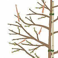 Kirschbaum Richtig Schneiden : sauerkirschen richtig schneiden garten gr n pflanzen pinterest ~ Frokenaadalensverden.com Haus und Dekorationen