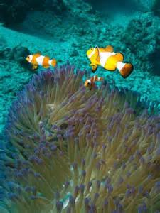 Biggest Clown Fish