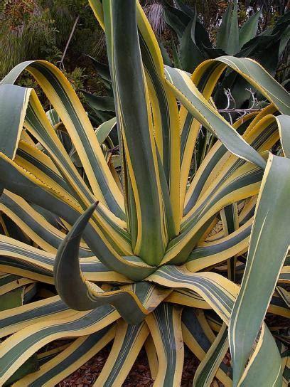Pflanzen Portraet Agave by Kostenlose Bild Agave Kaktus Pflanze W 252 Ste Blumen