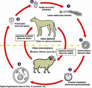 Mites Alimentaires Cycle De Reproduction : hydatidose wikip dia ~ Dailycaller-alerts.com Idées de Décoration