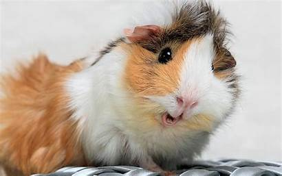 Pig Guinea Pigs Wallpapers Funny Background Google