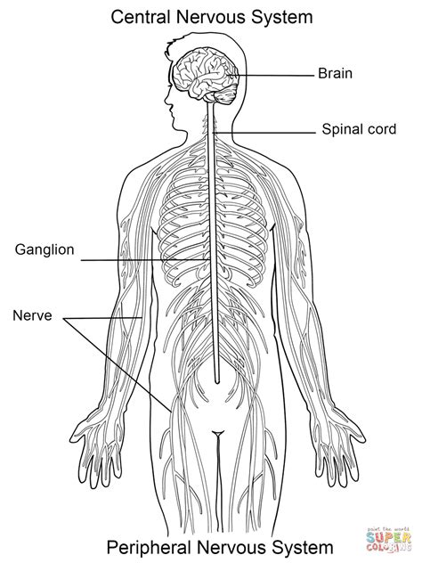 nervous system coloring page  printable coloring pages