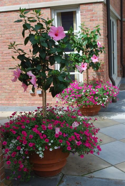 this fuchsia petunia is also from the vista series though the pink hibiscus standards are the
