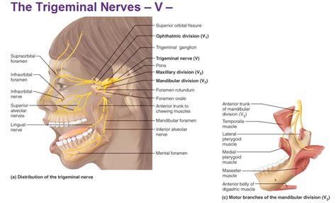 peripheral nervous system cranial nerves
