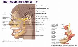 Peripheral Nervous System  Cranial Nerves