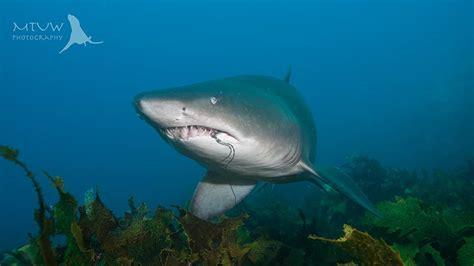 nurse shark grey island montague sharks fishing narooma numbers trailing tworkowski matthew gear bay
