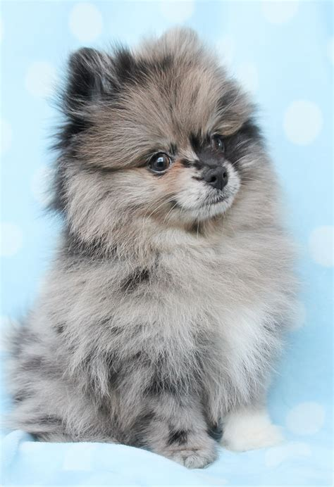beautiful pomeranian dog   pictures